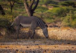 Grevy zebra kenya