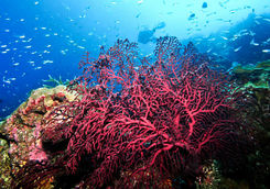 coral diving kenya