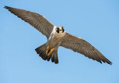 pergrine falcons