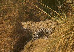 leopard panna
