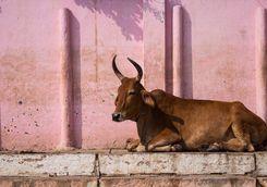 cow street india