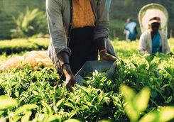 Woman picking tea