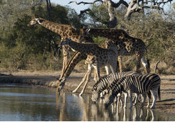 Giraffes and Zebras in the Limpopo Province