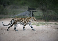 Spotting a leopard on a game drive