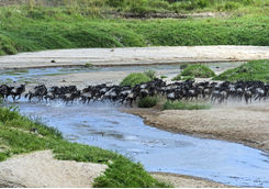 Wildebeest migrating over a river