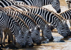 Zebra drinking from a river