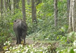 Elephant on a stroll in Myanmar