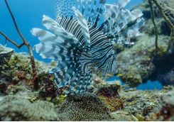 Lionfish in Hol Chan