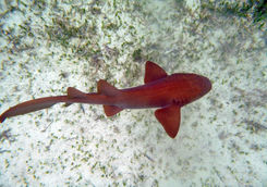 Nurse shark in Belize