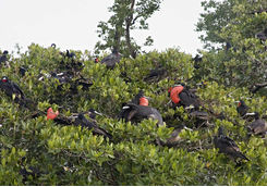 Frigate birds in Belize