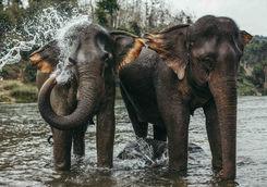 asian elephants bathing