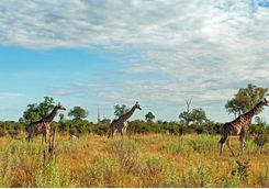 Giraffes in the Selinda Reserve