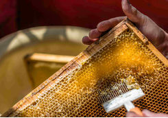 Beekeeper uncapping honeycomb