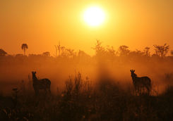 zebras sunrise