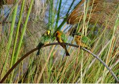 birds reeds