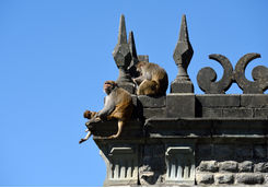 macaques shimla