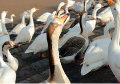 ducks sukhna lake