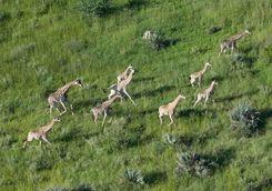 Giraffe aerial in Chitabe