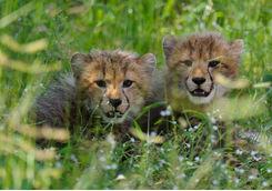 Chitabe cheetah cubs