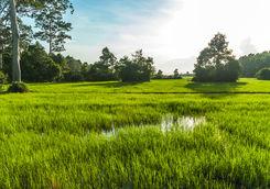 siem reap rice paddy