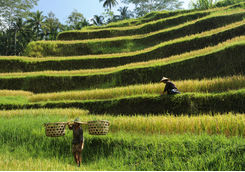 farmers rice terraces