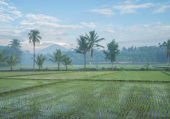 view of rice fields in borobudur