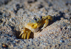 yellow sand crab