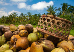 pile of harvested coconuts in plantation bali