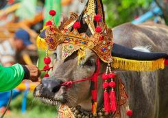 traditional balinese water buffalo race negara