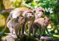 family of macaque
