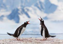two penguis speaking