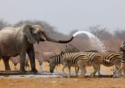 elephant spraying zebra with water