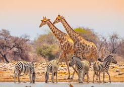 giraffes and zebras at waterhole