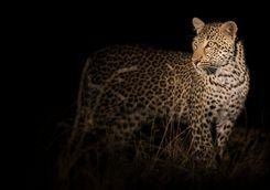 leopard walking in darkness