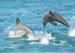 Playful bottle-nosed dolphins