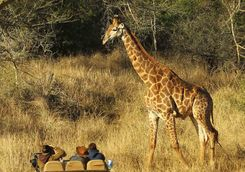 Thanda game drive with giraffe