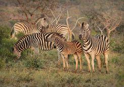 Thanda zebra