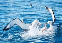 fighting albatross