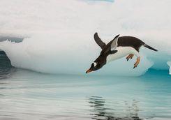 gentoo penguin jumping in water