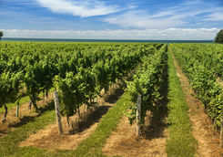Wine vineyard on a sunny day