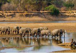 Elephant herd crossing river