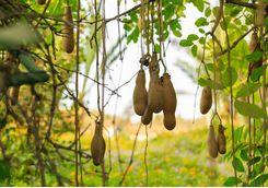 The ripe fruit of the sausage tree