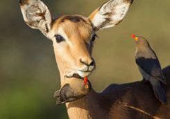 Impala being groomed by ox peckers