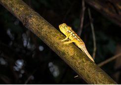 Chameleon lying on a tree