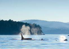 Orcas swimming near Victoria