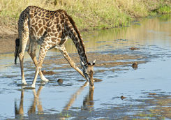 Giraffe is spreading the legs to drink water