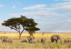 African elephant herd and acacia tree