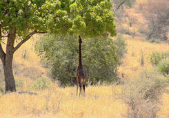 A giraffe eating the leaves of the sausage tree