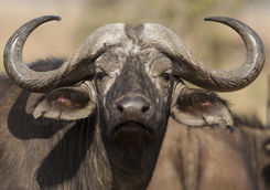 African buffalo close-up in Serengeti National Park