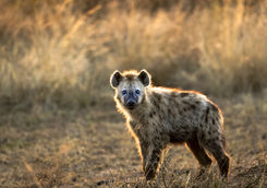 Hyena in Serengeti National Park